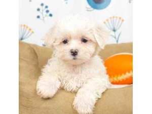 Maltese-DOG-Female-White-2464948