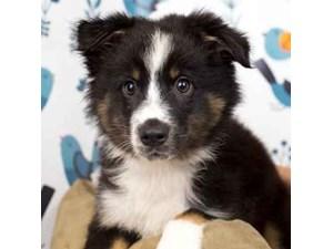 Australian Shepherd-DOG-Male-Black and White-2465172