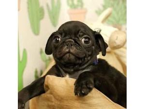Pug-DOG-Male-Black-2444651