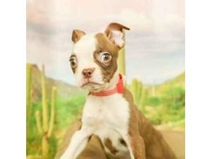 Boston Terrier-DOG-Female-Seal and White-2458978