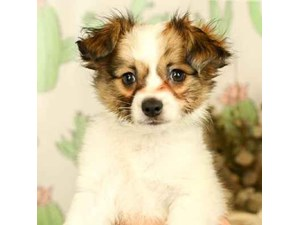 Papillon-DOG-Male-White and Sable-2444708