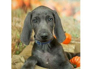 Weimaraner-DOG-Male-Blue-2498267