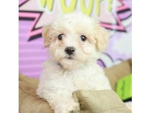 Poo Chon-DOG-Male--2519302