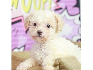 Bichon Poo-DOG-Female--2519304