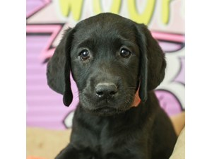 Labrador Retriever-DOG-Male--2519467
