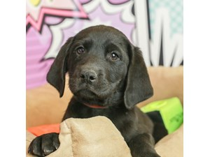 Labrador Retriever-DOG-Male--2519469