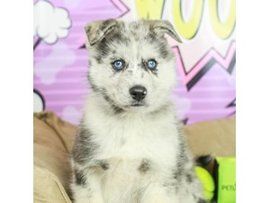 Pomsky-DOG-Male--2519118