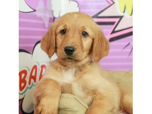 Golden Retriever-DOG-Male--2519225