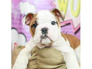 English Bulldog-DOG-Female--2519279