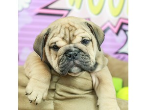English Bulldog-DOG-Female--2519336