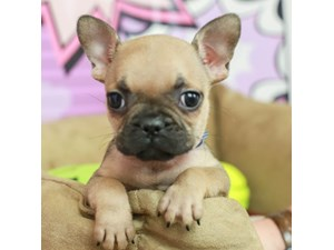 French Bulldog-DOG-Female--2518794