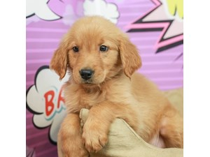 Golden Retriever-DOG-Male--2519227
