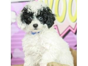 Poodle-DOG-Male--2519219