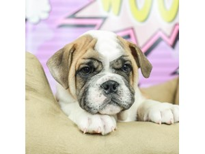English Bulldog-DOG-Male--2519276