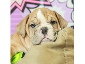 English Bulldog-DOG-Female--2519509