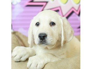 Labrador Retriever-DOG-Male--2519466