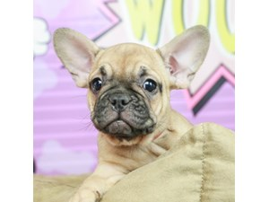 French Bulldog-DOG-Female-SABLE-2518379