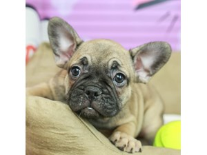 French Bulldog-DOG-Female-SABLE-2518730