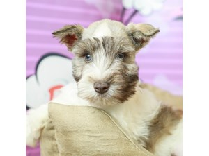 Miniature Schnauzer-DOG-Male--2519779