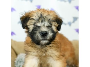 Soft Coated Wheaten Terrier-DOG-Female-WHEATEN-2514025