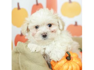 Maltipoo-DOG-Male--2514069
