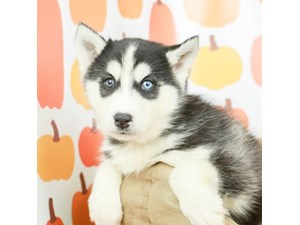 Siberian Husky-DOG-Male--2514073