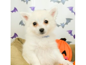 American Eskimo-DOG-Female-WHITE-2514045