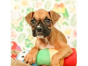 Boxer-DOG-Female--2473324