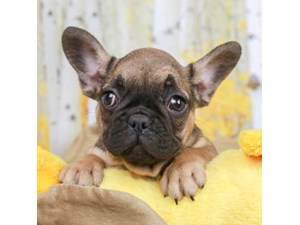 French Bulldog-DOG-Male-FAWN-2473207