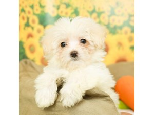 Maltipoo-DOG-Female--2499177