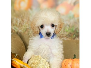 Poodle-DOG-Female-WHITE-2514041