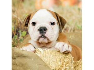 English Bulldog-DOG-Female-FAWN/WHITE MARKINGS-2499174