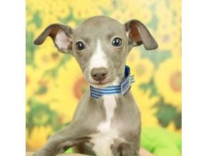Italian Greyhound-DOG-Female-BL/WHT-2499181