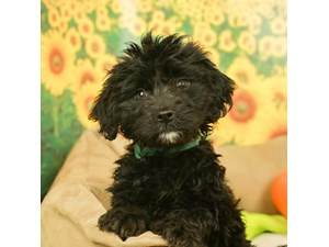Mini Goldendoodle-DOG-Female--2499178