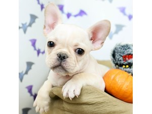French Bulldog-DOG-Male--2514054