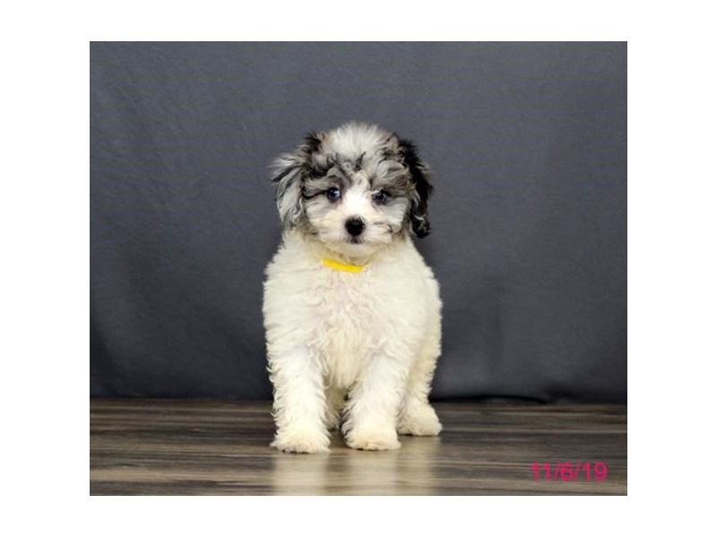 Bichon Poo Dog Blue White Id 2524602 Located At Petland Hoffman