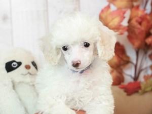 Poodle-DOG-Female-WHITE-2525670