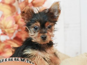 Yorkshire Terrier-DOG-Female-Black and Tan-2524213