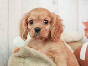 Cavalier King Charles Spaniel-DOG-Male-RUBY-