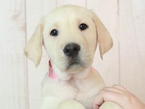 Labrador Retriever-DOG-Male-CREAM-2525530