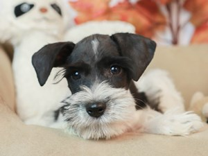 Miniature Schnauzer-DOG-Male-SALT AND PEPPER-