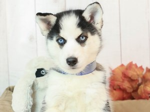 Siberian Husky-DOG-Female-BLACK WHITE-2525144