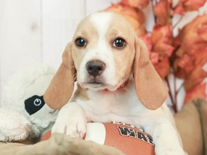 Beagle-DOG-Female-LEMON/WHT-2525887