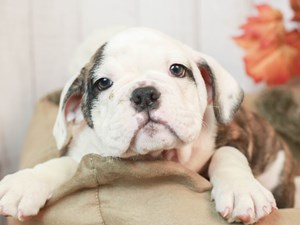 English Bulldog-DOG-Female--2525938