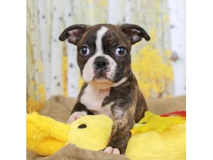 Boston Terrier-DOG-Male-BLACK BRINDLE/WHITE-2473203
