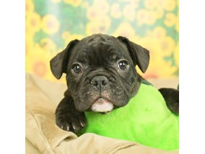 French Bulldog-DOG-Male--2499184