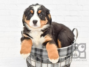 Dogs And Puppies For Sale Petland Novi Michigan Puppy Store