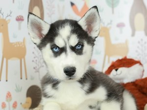 Siberian Husky-DOG-Female--2532570