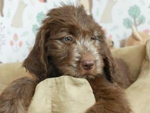 Newfie Poo-DOG-Female-Brown-2532670