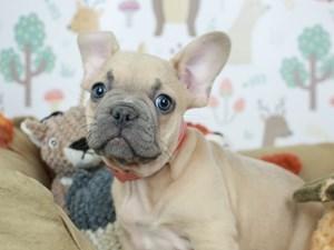 French Bulldog-DOG-Male-LILAC-2532102